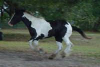 GG Thunder Rose, 2007 Gypsy Vanner Horse filly
