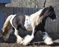 SRS Queen's Summer Breeze, 2010 Gypsy Vanner Horse mare