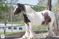 The Brick House Mare, 2007 Gypsy Vanner Horse mare