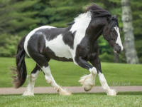 WR Brigsby by Caymus, 2011 Gypsy Vanner Horse gelding