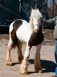 Creek Side Ace's Lady Brooke, 2008 Gypsy Vanner Horse filly