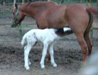 Buffy, Gypsy Vanner Horse filly