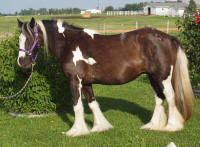 WW Paddy's Cailin, 2010 Gypsy Vanner Horse filly