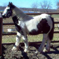 Calypso, Gypsy Vanner Horse filly