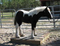 River Run's Captain, 2008 Gypsy Vanner Horse colt