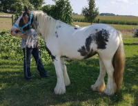WW Cassiopeia, 2014 Gypsy Vanner Horse filly