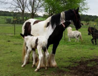 Caymiss, 2015 Gypsy Vanner Horse filly