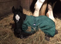 Queenie's Filly colt, 2016 Gypsy Vanner Horse foal