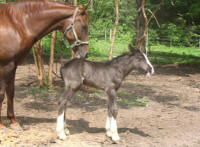 Caymus, Gypsy Vanner Horse colt