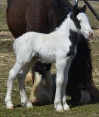 N'Co Zorro's I Just Want to Celebrate, 2015 Gypsy Vanner Horse colt