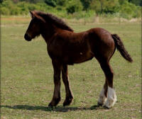 SFGH Charming Charlie, 2014 Gypsy Vanner Horse filly