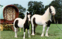 Chauvani and Pearlie Queen, Gypsy Vanner Horse mare and 1999 filly