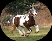 Chavi, imported Gypsy Vanner Horse mare