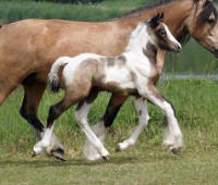 Lake Ridge Cherry Lane, 2009 Gypsy Vanner Horse filly