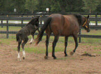 GG Latcho's Cleopatra, 2006 Gypsy Vanner Horse filly