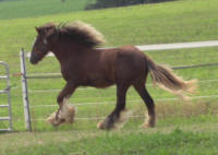 Tosles Decadence, 2007 imported Gypsy Vanner Horse filly