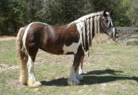 Sweet Cocoa Mare, 2004 imported Gypsy Vanner Horse mare