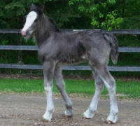 Corcia filly, 2009 Gypsy Vanner Horse filly