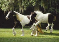 Crown Darby, 1995 imported Gypsy Vanner Horse mare