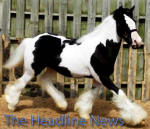 N'Co Headline News, 2006 Gypsy Vanner Horse filly
