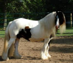Rackli, imported Gypsy Vanner Horse mare
