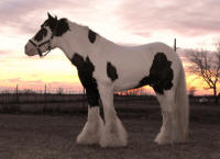 GG Road Sweeper's Darby Dan, 2005 Gypsy Vanner Horse stallion