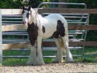 Road Sweeper's Darby Dan, 2005 Gypsy Vanner Horse colt