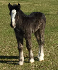 Caymus' Danny Boy, 2016 Gypsy Vanner Horse colt