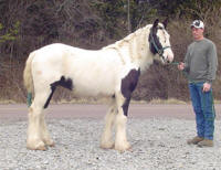 Just Call Me Darby, 2004 Gypsy Vanner Horse mare