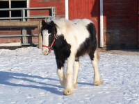 Daybreak, 2007 Gypsy Vanner Horse filly