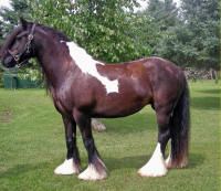 Toy Boy's Diamond, 2002 imported Gypsy Vanner Horse mare