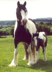 Dinah & Annabelle, imported Gypsy Vanner Horse mare and filly in the UK