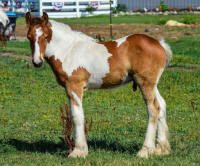 SFGH The Big Dipper, 2016 Gypsy Vanner Horse colt