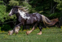 VV Dolce, 2006 Gypsy Vanner Horse mare