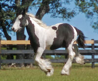 Doll Face, 2009 Gypsy Vanner Horse filly