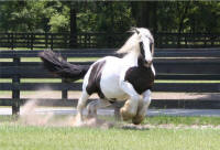 Darby Dolly, 1995 imported Gypsy Vanner Horse mare