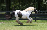 Dolly, 1995 imported Gypsy Vanner Horse mare