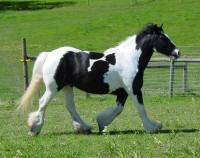 Rock Ranch Dolly, imported Gypsy Vanner Horse mare