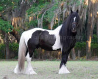 Dominic, 2002 Gypsy Vanner Horse stallion