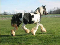 Sweep One Dot She's Got, imported Gypsy Vanner Horse mare