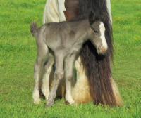 Downey colt, 2011 Gypsy Vanner Horse foal
