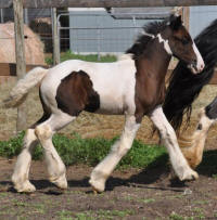 N'Co Mr Bikers In Your Dreams N'Co, 2011 Gypsy Vanner Horse filly
