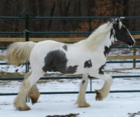 N'Co Impeccable, 2007 Gypsy Vanner Horse colt