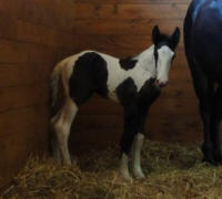 Dutches filly, 2010 Gypsy Vanner Horse foal