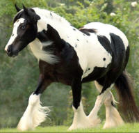 Equirace Gypsy, 2000 Gypsy Vanner Horse mare
