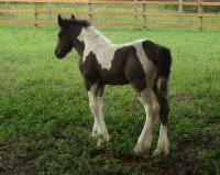 GVR Earl, 2008 Gypsy Vanner Horse colt