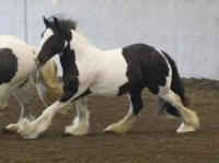 Edain of Orcas Island, 2006 Gypsy Vanner Horse filly
