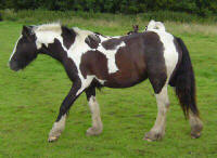Eden, imported Gypsy Vanner Horse mare
