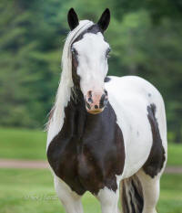 SWF Tia's Out of the Blue, 2012 Gypsy Vanner Horse filly