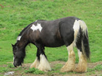 Evangeline of Mill Cave, 2011 imported Gypsy Vanner Horse mare